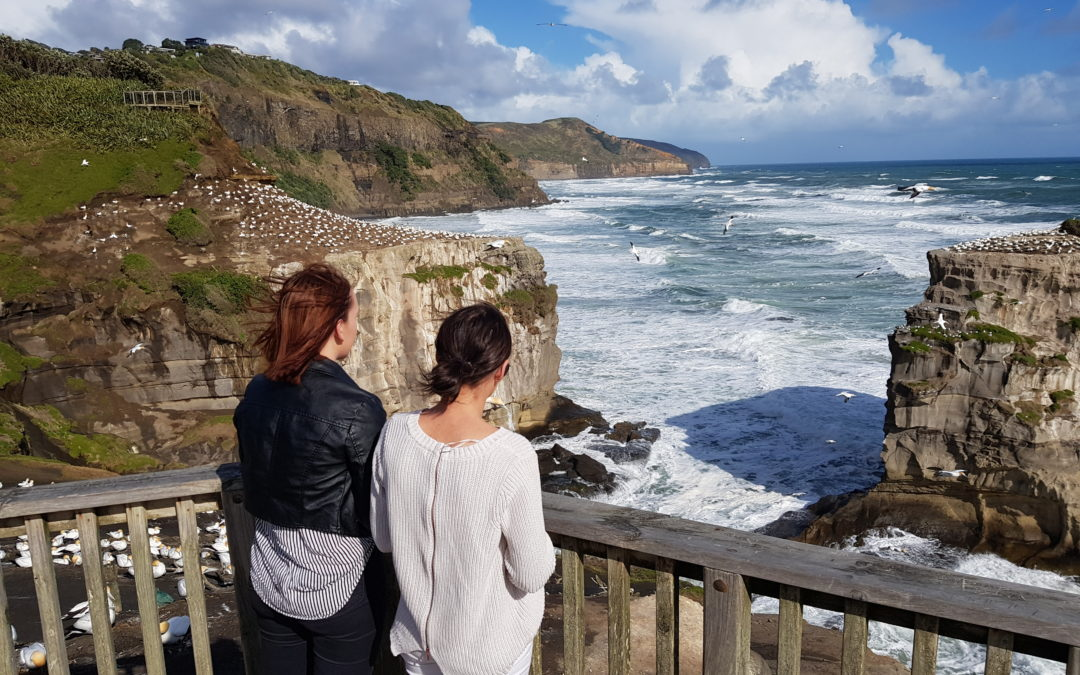 Muriwai Gannet Colony – 50km North West of Auckland